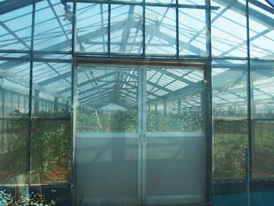 今は、ほうき草は栽培せず、菊・ガーベラ・いちごなどの農産物をビニールハウスで育てています。