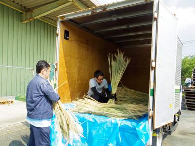 干したほうき草をトラックに入れる