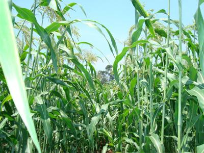 ほうき草の栽培