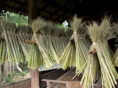 ほうき草の収穫